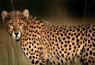 I love Antilopes.....
