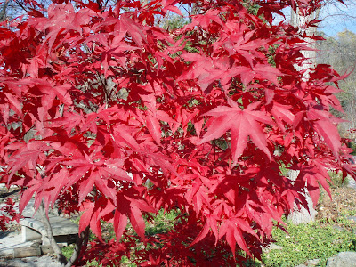 The Bloodgood Japanese maple