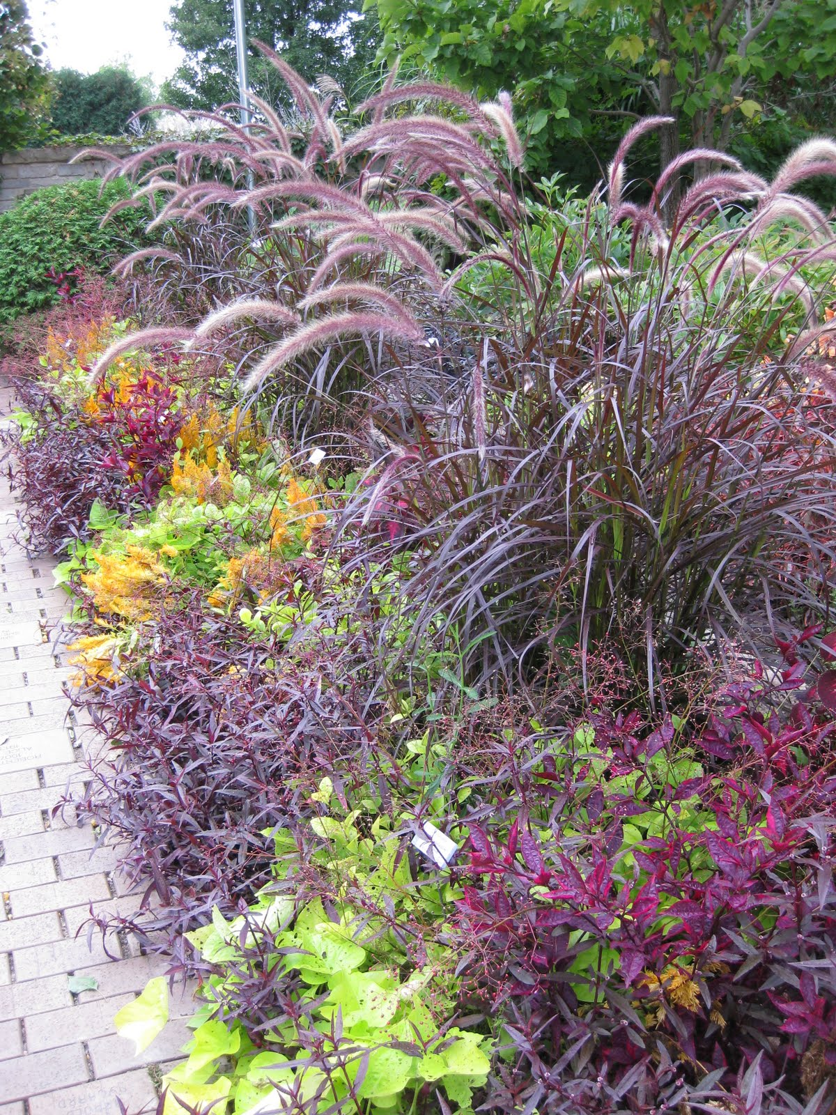 Rotary botanical gardens hort blog purple pennisetums for Purple grasses for landscaping