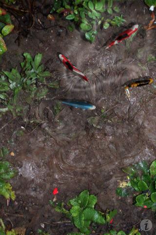 My ideal pond confessions of a koi kichi for Virtual koi fish pond