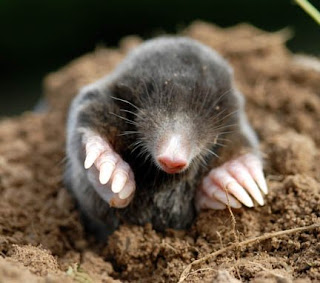 Do Moles Have Roots http://reading-writing.blogspot.com/2009/04/moles-vs-voles.html
