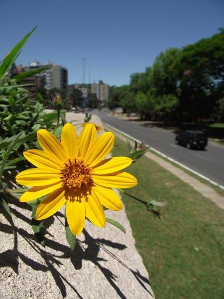 flower in Porto Alegre, Brazil