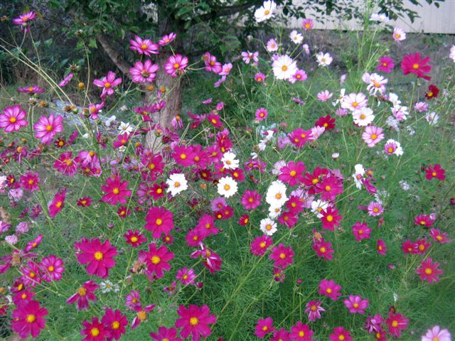 Notes from a cottage garden cosmos a cottage garden classic for Cottage garden plants