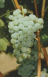 Alvarinho B : Cépages de vigne