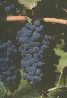 variedades de uvas pinot noir