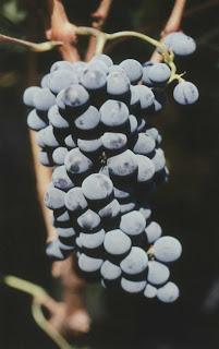uvas de vino tinto cabernet sauvignon