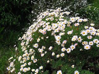 Piante creare giardini cura dei fiori consigli for Margherita pianta