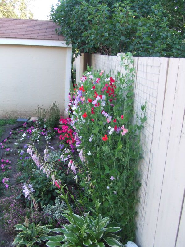 Ordinary Sweet Pea Trellis Ideas Part - 3: Ewa In The Garden