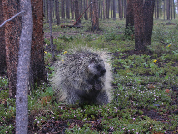 Sir Colorado Porcupine