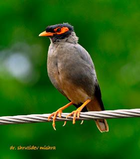 Indian Birds Photography: [BirdPhotoIndia] Bank Myna