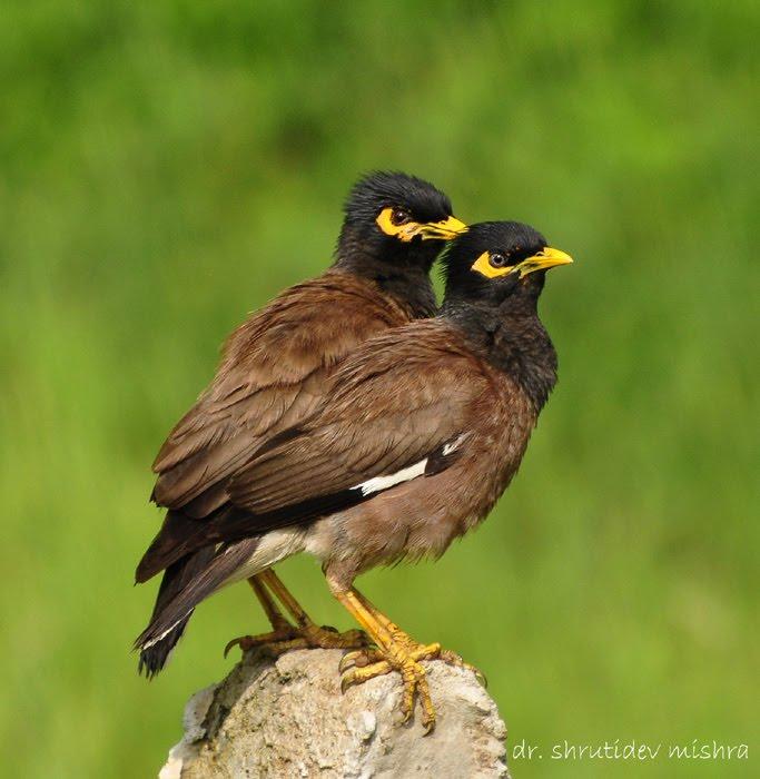 Indian Birds Photography: [BirdPhotoIndia] Common Myna