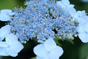 Lacecap Hydrangea in June