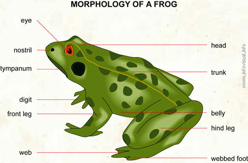 Morphology and anatomy of frog