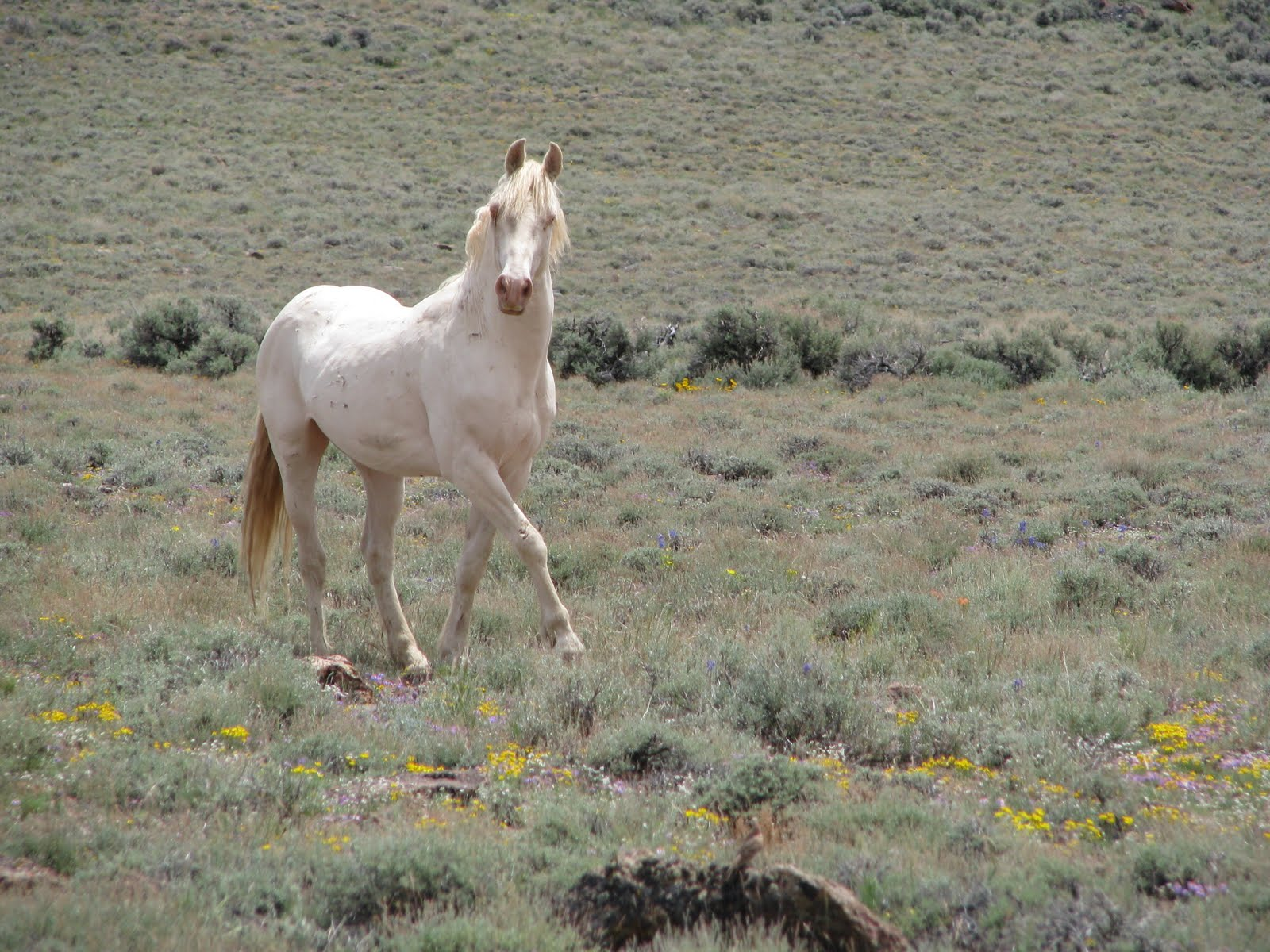 Horses in the little colorado herd management area - Wild Horse From The Calico Herd Management Area Courtesy Of Blm 2004