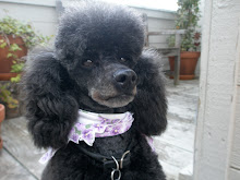 Yofi The Poodle