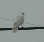 White American Crow