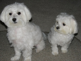 Riley and Star Maltese