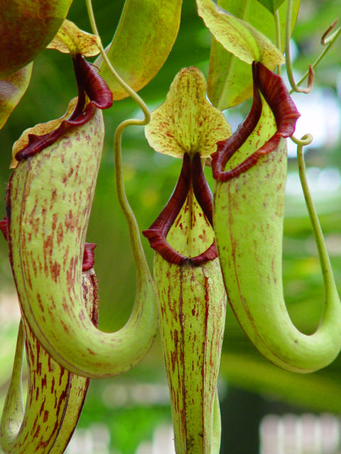 Pitcher plantCarnivorous Pitcher Plants