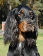 Gordonsetter