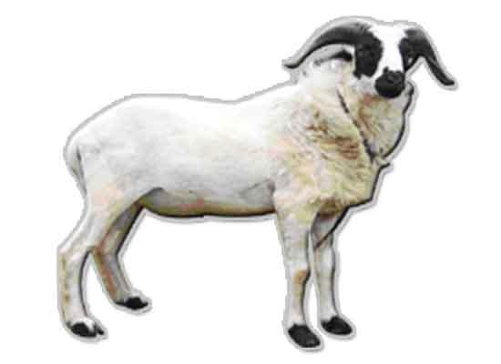 Nama Nama Jenis kambing