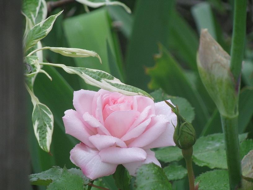 le jardin de v rone rosier 39 plume d 39 ange. Black Bedroom Furniture Sets. Home Design Ideas