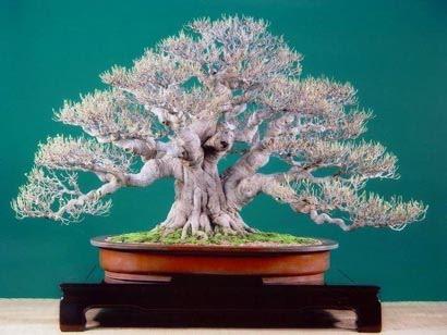 Pithecellobium dulce Ficus__80cm