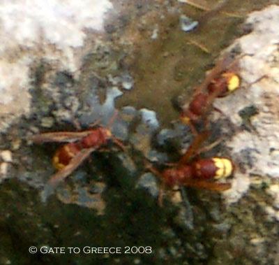 Corinthian Wasps