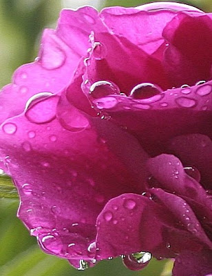images of roses with rain drops. Rain drop-laden rose
