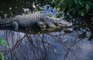 http://2.bp.blogspot.com/_rNMgRoi-Vug/St9y0VmTZ3I/AAAAAAAAAEA/QBfTcejjV4A/s320/crocodilo-m-20091020.jpg