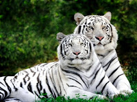 white tigers backgrounds tiger pics white tiger wallpapers