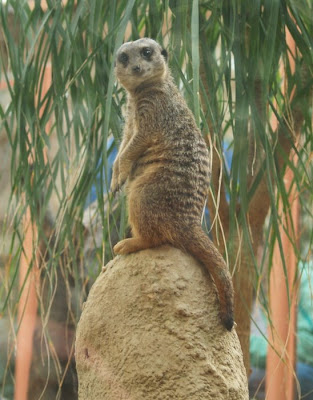 Tropical World Roundhay park Meerkat