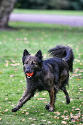 Bruce Belgian Shepherd
