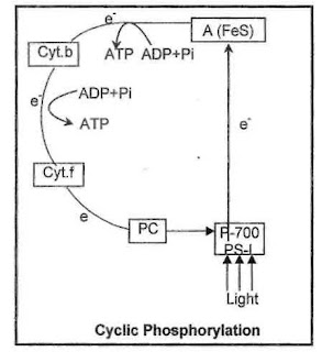 cyclic and noncyclic photophosphorylation pdf