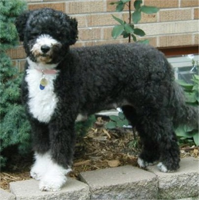Portuguese Water Dog And Cats