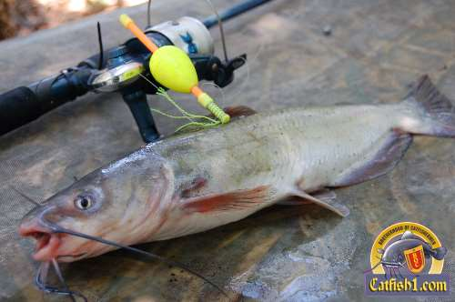 Great fishing tackle tip differences between catfish for Catfish fishing gear