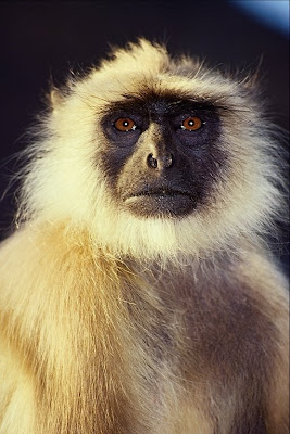 indian langur monkey whose  ancestor is monkeygod