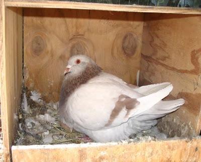 Texan Pioneer Pigeon