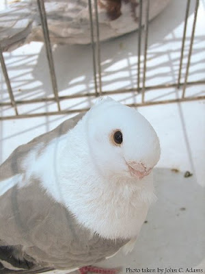 African Owl Pigeon