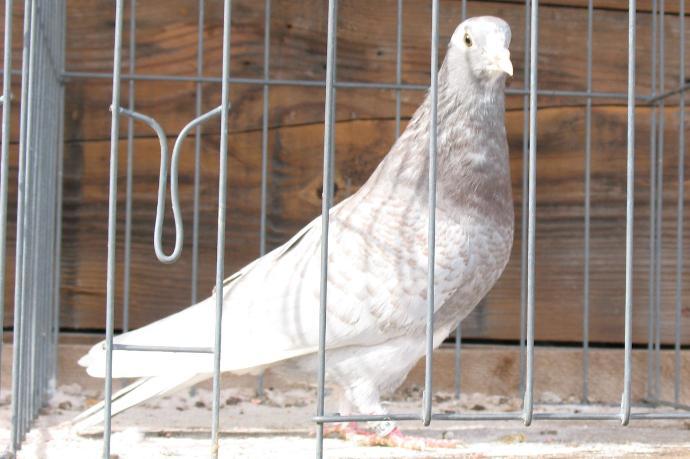 Birmingham Roller Pigeon Pictures ~ ENCYCLOPEDIA OF PIGEON ...
