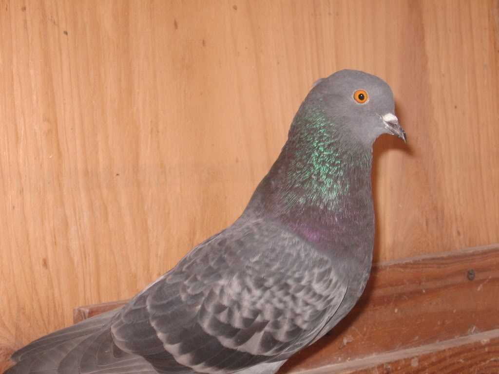 Roller pigeons - photo#9