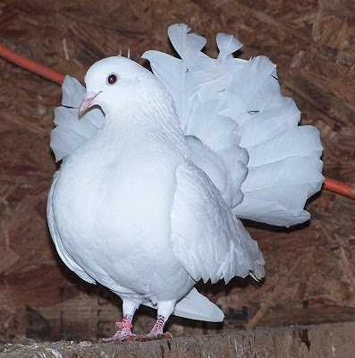 Silky Fantail Pigeon