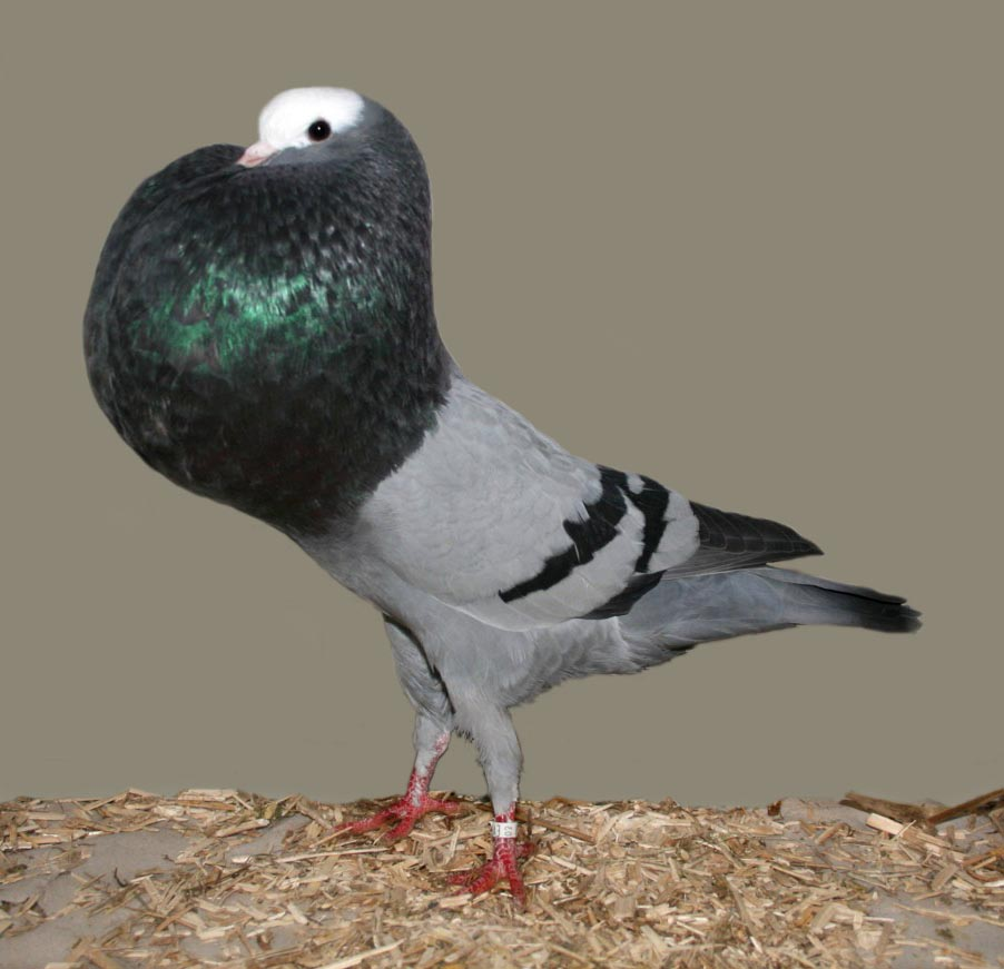 Silesian Pouter Pigeon Pictures ~ ENCYCLOPEDIA OF PIGEON BREEDS
