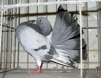 Grey Fantail Pigeon
