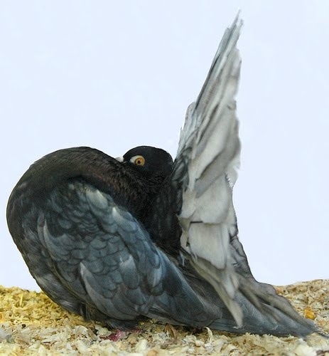 Indian Fantail Pigeon Picture ~ ENCYCLOPEDIA OF PIGEON BREEDS