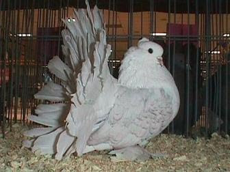 white fantail pigeons