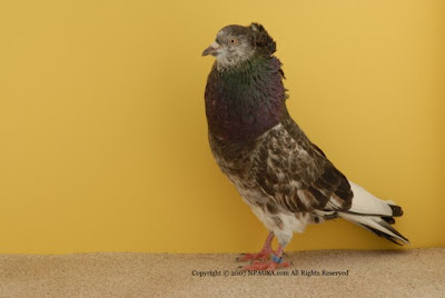 Starwitzer Pouter Pigeon