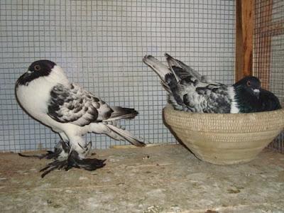 Hana Pouter Pigeon
