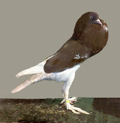 English Pouter Pigeon