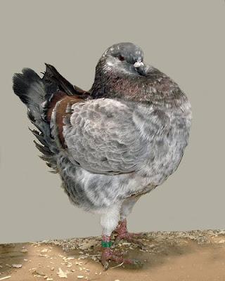 Magnani Modena Pigeon