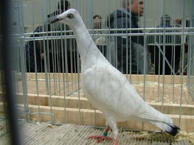 Srebrniak Pigeon Perlovy